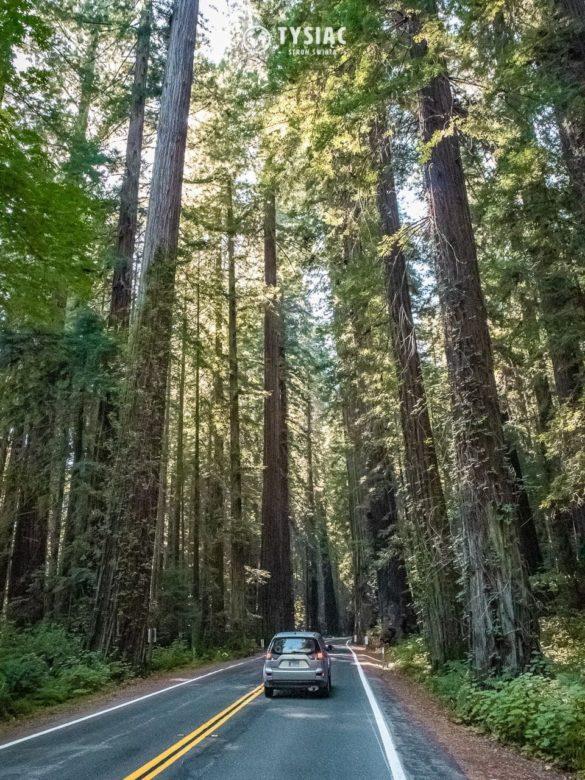 Droga wśród najwyższych drzew świata