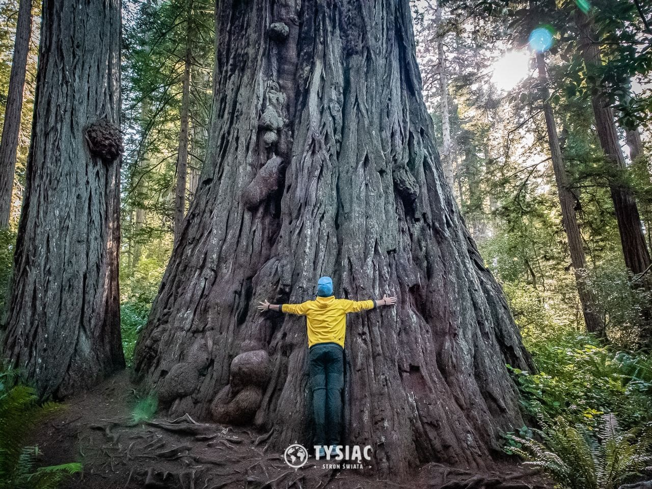 Redwood - gigantyczne sekwoje