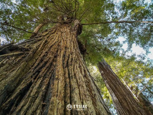 Redwood - najwyższe drzewa świata