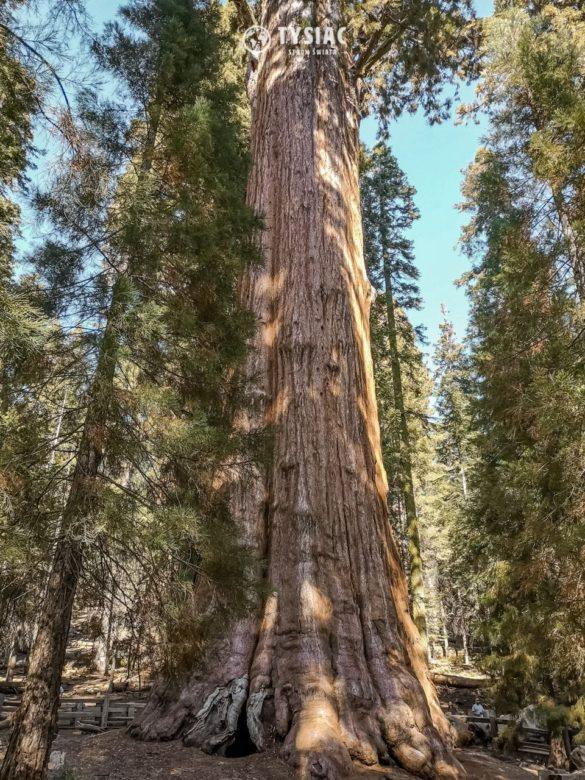 Generał Sherman - najwyższe drzewo świata