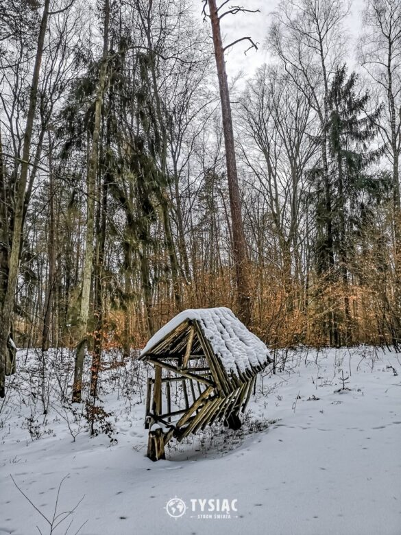 Sosna taborska - Stare Jabłonki